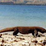 Komodo dragon on Komodo. Indonesia.