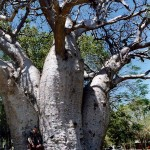 Sjaak and 1,500 year old baobab tree in Wyndham. Western Australia.