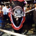 Cow market in Dhaka. Bangladesh.