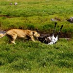 Safari near Serengeti National Park. Tanzania.