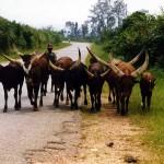 Between Kabale and Mbarara. Uganda.