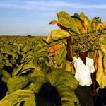Visiting a tobacco ranch near Beatrice. Zimbabwe.