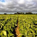 Visiting a tobacco ranch near Beatrice. Zimbabwe.